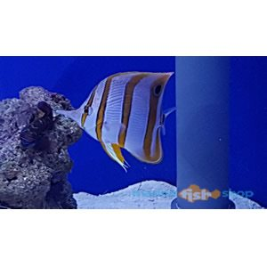Copperband Butterfly available at Marine Fish Shop