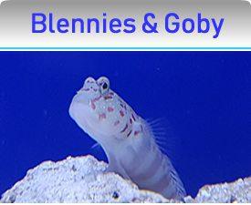 Blennies & Gobies